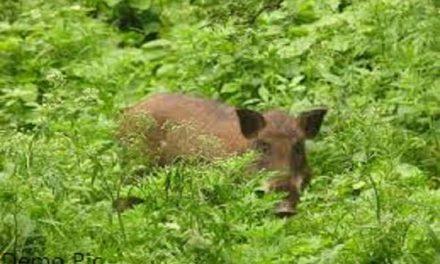 गांव तखरां में 4 जंगली सूअरों ने मचाया आतंक