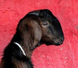 Shocking : Pregnant goat allegedly gangraped in Haryana, 8 booked